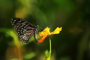 Schmetterling saugt Nektar aus gelbem Kosmospollen foto