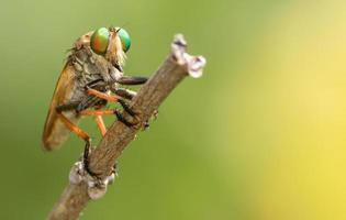 Räuberfliege ruht auf einem Zweig.