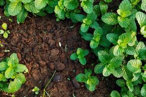 frische Minze wächst in einem Garten foto