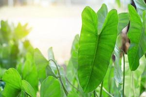 grüne Elefantenblätter