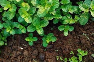 Minzpflanzen auf dem Boden foto