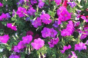 lila Blumen in einem Garten foto