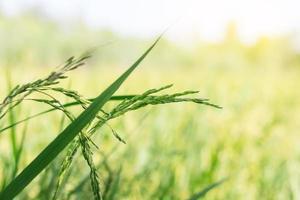 grüne Reispflanzen