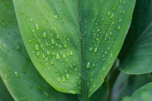Tautropfen auf grünen Blättern