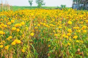 Wiese der gelben Blumen foto