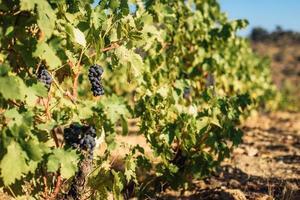 Weinberge im Douro-Tal, Portugal