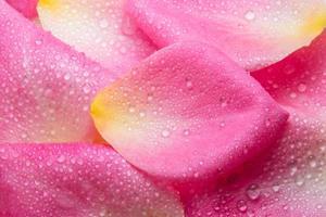 Wassertropfen auf den Blütenblättern einer rosa Rose