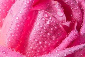 Wassertropfen auf Rosenblättern