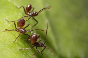 braune Ameisen auf einem Blatt