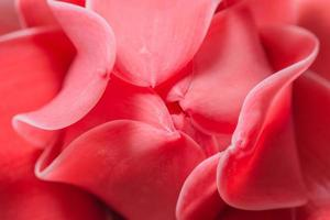 rosa Blütenblätter Nahaufnahme
