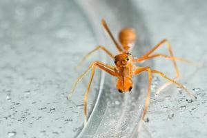 Kerengga Ameisen-ähnliche Pulloverspinne
