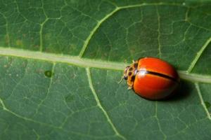 roter Marienkäfer auf einem Blatt foto