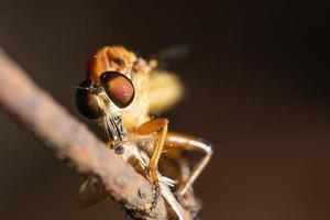 Räuber fliegen Nahaufnahme