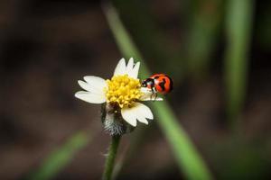 Marienkäfer auf einer Blume foto