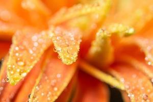 Wassertropfen auf orange Blütenblättern, Nahaufnahme