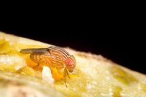 Fruchtfliege oder Drosophila Melanogaster