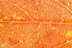 Blatthintergrund, orange