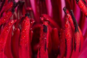 Wassertropfen auf rotem Lotus