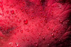 Wassertropfen auf eine rote Rose
