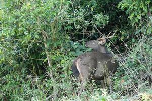 Sambarhirsch im Khao Yai Nationalpark foto