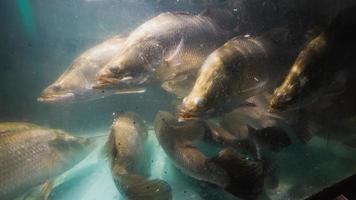 Schnapperfisch im Aquarium foto