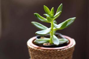 Schließen Sie oben saftige Kaktuspflanze im Topf auf schwarzem Hintergrund foto