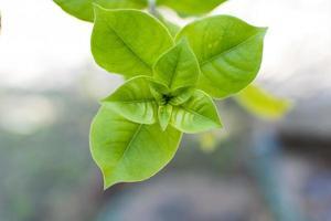 allamanda blanchetii Blätter foto