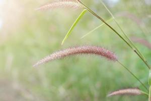 Grasblume auf der Wiese bei Sonnenlichtnaturhintergrundfrühling