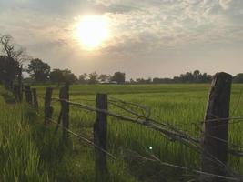 Reisfeld zur goldenen Stunde