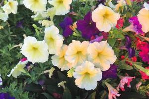 Naturfoto ist eine Petunienblume. Pflanze Petunienblume mit blühenden rosa Blütenblättern. foto