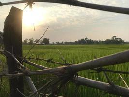 Reisfeld hinter einem Zaun