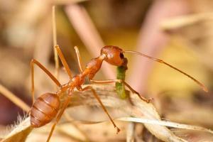 Ameise bewegt Nahrung zum Nest