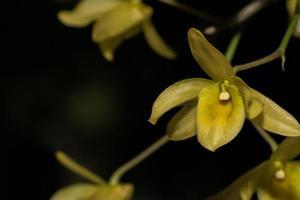 gelbe Orchidee auf schwarzem Hintergrund