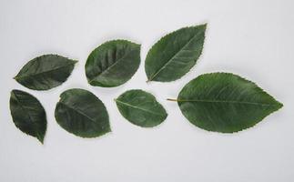 Draufsicht der grünen Blätter der Rosenblume lokalisiert auf weißem Hintergrund foto