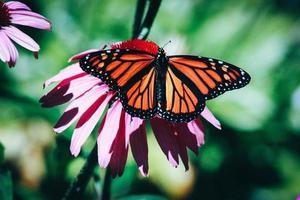 Nahaufnahmefotografie des Monarchenschmetterlings auf roter Blume