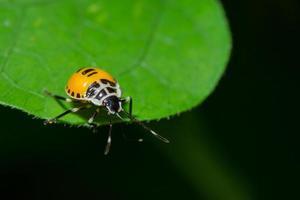 stinkender Käfer auf einem Blatt foto