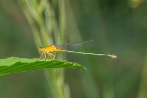Libelle auf dem Blatt foto