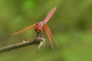 rote Libelle auf grünem Hintergrund