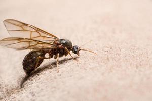 Ameise mit Flügeln auf braunem Hintergrund