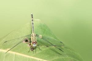 Libelle auf grünem Hintergrund