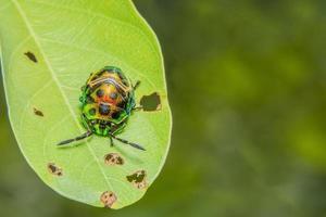 grüner Marienkäfer auf einem Blatt foto