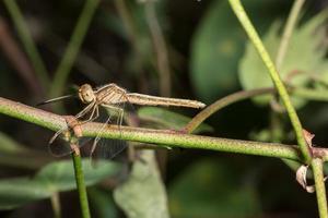 Libelle auf einem Ast foto