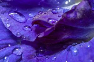 Wassertropfen auf Anchan Blume