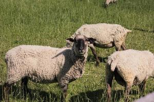 Schafe auf dem Feld foto