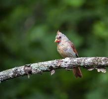 weibliche Kardinalstangen im Apfelbaum foto