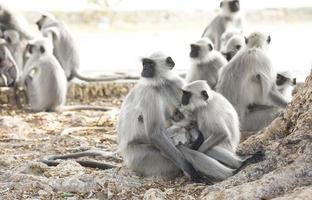 indischer Affe oder Lanngur foto