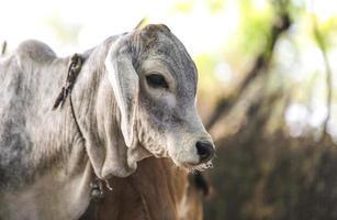 weiße und graue Kuh