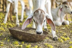 hübsche kleine Babykuh, die Gras isst