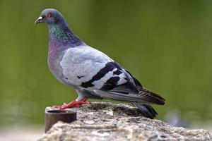schöne Taube, die auf gebrochener Wand nahe See steht