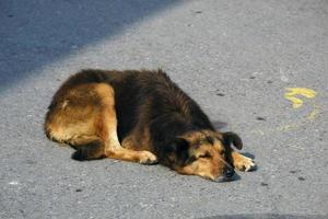 streunender Hund, der sich in eine Straße legt